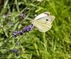 11-Jul-17 Large White feeding on Lavender