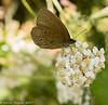 9-Jul-17 Ringlet Butterfly