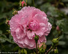 3-Aug-17 Raindrops on Roses.