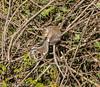 12-May-17 Grey Squirrel