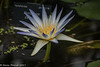 5-May-17 Water Lilly