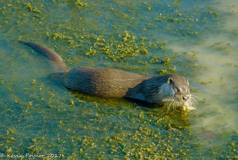 21-Dec-17 Otter