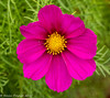 2-Aug-17 Cosmos bloom