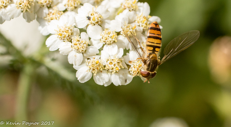 21-Jul-17 Back to the Hoverfly