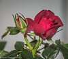 25-Dec-17 A Miniature Rose for Christmas.