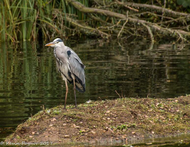 28-Nov-17 Grey Heron
