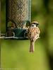 25-May-17 Tree Sparrow. (Passer montanus)