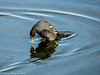 6-Feb-17 Diving Moorhen.