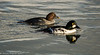7-Nov-17 Male and Female Goldeneye.