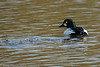 7-Mar-17 Goldeneye Drake