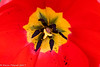 6-Apr-17 Tulip Stamens and Stigma