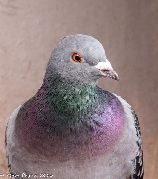 4-Jan-17 Feral Pigeon