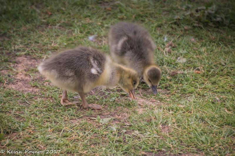 18-May-17 Goslings.