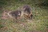 18-May-17 Goslings.