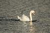 6-Dec-17 Mute Swan.