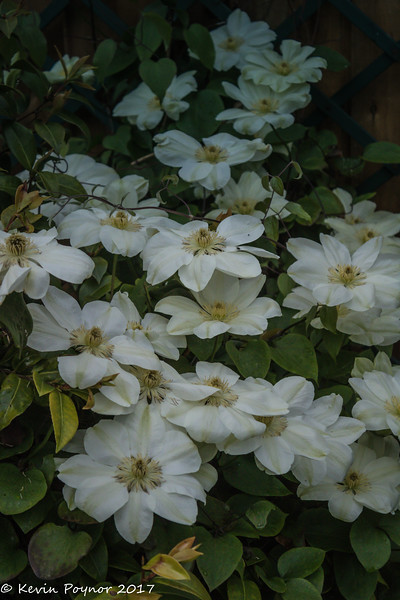 27-May-17 Clematis
