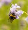 30-Jul-17 White-tailed Bumblebee (I think?)