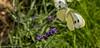 17-Jul-17 Leaving the Lavender.
