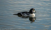 17-Nov-17 Male Goldeneye