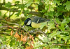 26-May-17 Great Tit.