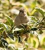 3-Jul-17 House Sparrow