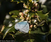 3-May-17 Holly Blue Butterfly (Celastrina argiolus )