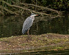 8-Oct-17 Grey Heron