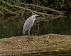 8-Oct-17 Grey Heron