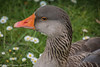 3-Jun-17 Greylag Portrait.