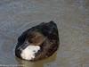4-Feb-18 Mixed parentage duck.