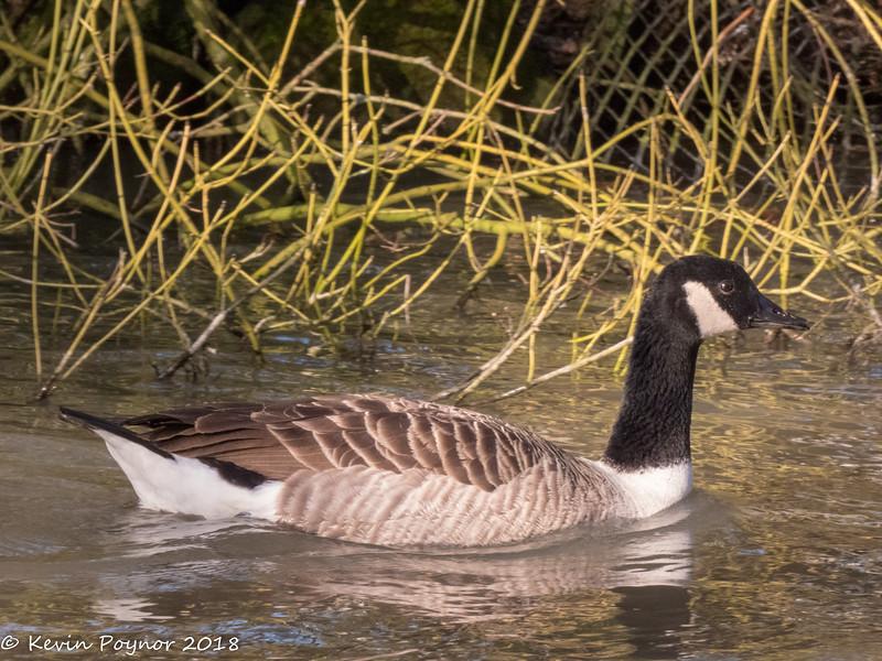 7-Feb-18 Canada Goose