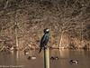 19-Jan-18 Cormorant.
