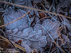 8-Jan-17 Frosted Leaves