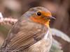 13-Apr-18 Robin. (Erithacus rubecula)