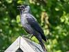 26-May-18 Jackdaw (Corvus monedula)