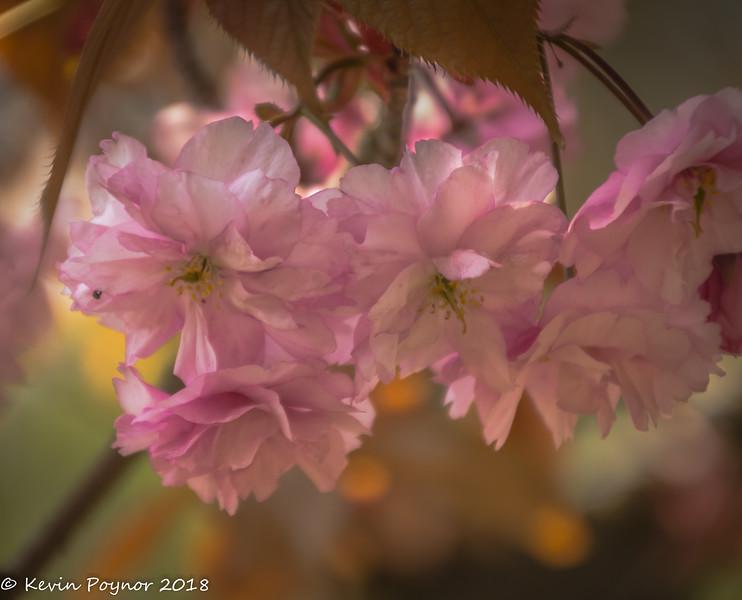 17-May-18 Blossom.