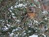 18-Mar-18 Fieldfare. (Turdus pilaris)