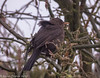 19-Mar-18 Common Blackbird (Turdus merula)