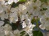 5-Jun-18 Hawthorne Blossom