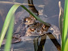 16-Apr-18  Common Toads