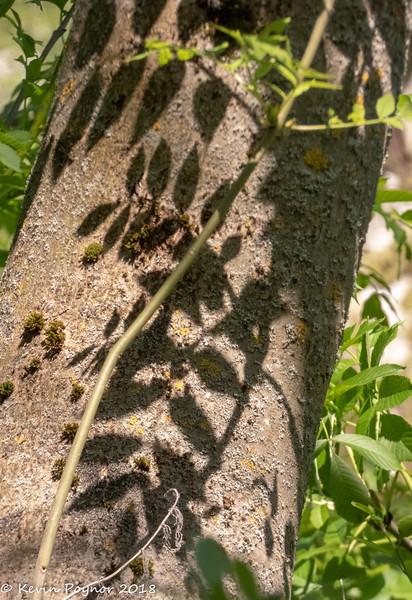 31-May-18 Leaf shadows on bark.