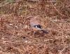 19-Apr-18 Eurasian Jay (Garrulus glandarius)
