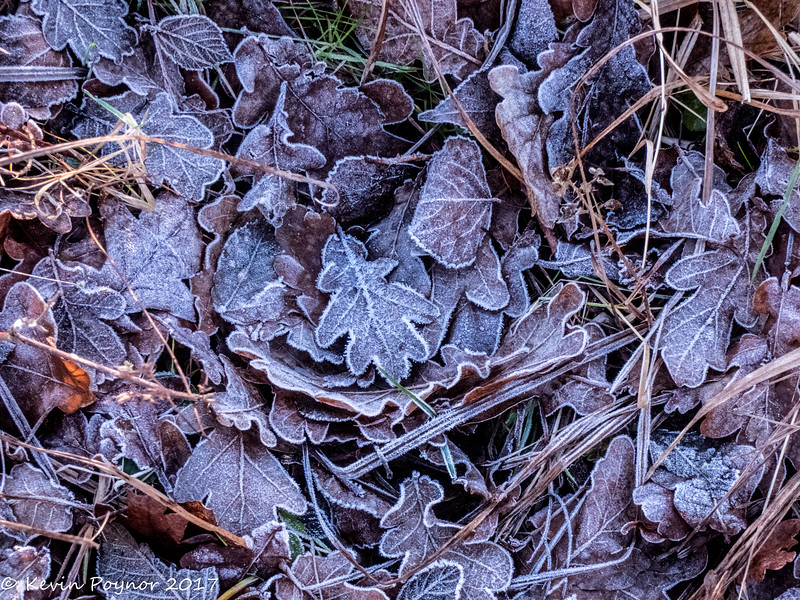 13-Jan-18 More frosted leaves.