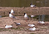 4-Jun-18 Mediterranean Gulls (Ichthyaetus melanocephalus) and Black Headed Gull ( Chroicocephalus ridibundus)