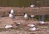 4-Jun-18 Mediterranean Gulls (Ichthyaetus melanocephalus) and Black Headed Gull ( Chroicocephalus ridibundus)