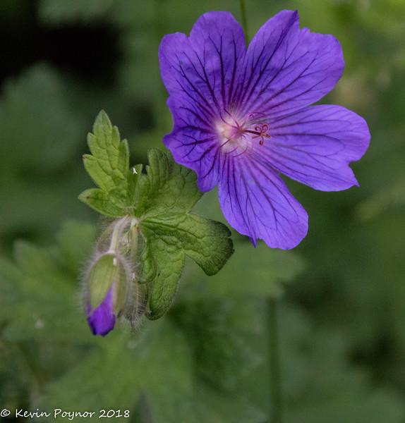 16-Jun-18 Hardy Geranium