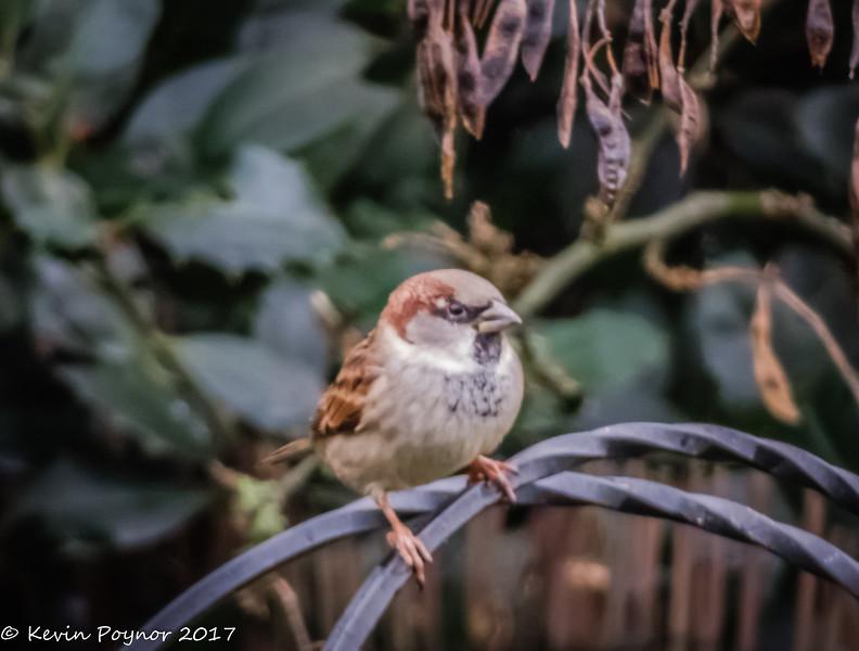 6-Jan-18 Male House Sparrow.