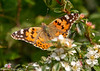29-May-18 Painted Lady (Vanessa cardui)
