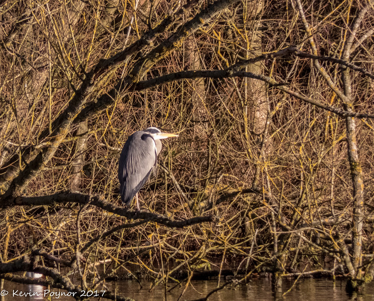15-Jan-18 Grey Heron