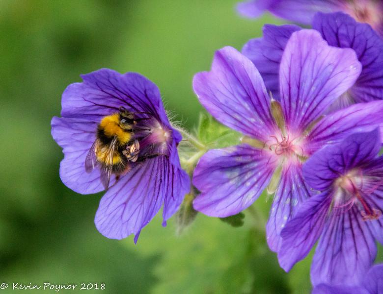 19-Jun-18 Bee and Geranium